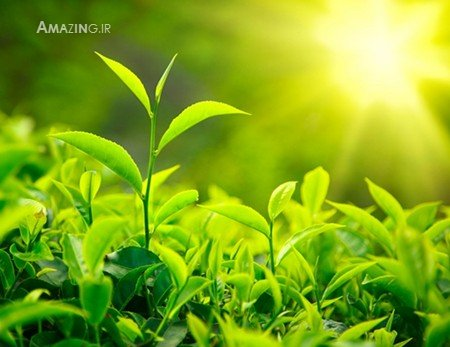 خواص چای سبز , خواص چای سبز کاهش وزن , خواص چای سبز لاغری , خاصیت چای سبز