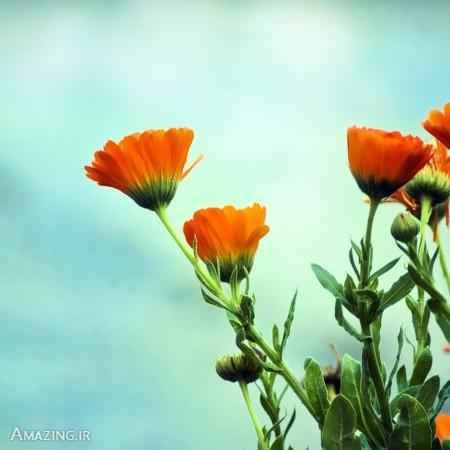 عکس پروفایل گل , عکس گل , تصاویر گل برای پروفایل , گل زیبا