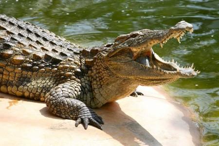 تفاوت کروکودیلو تمساح