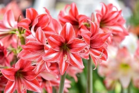 تاج گل پنج طبقه تبریک با آماریلیس